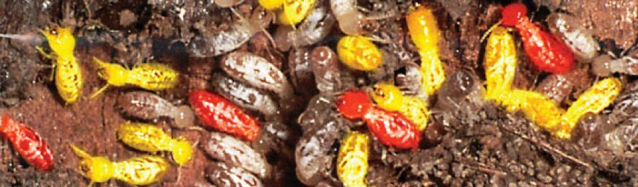 Termidor Sc Termiticide Insecticide